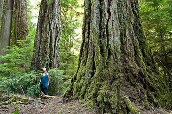 Douglas Fir Trees in BC